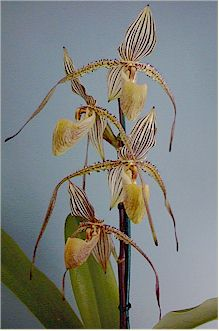 paph prince edward of york